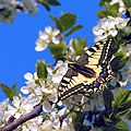 Papilio machaon01.jpg