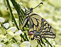 Papilio machaon - eclosion A - 05 - smoothing out its wings.jpg