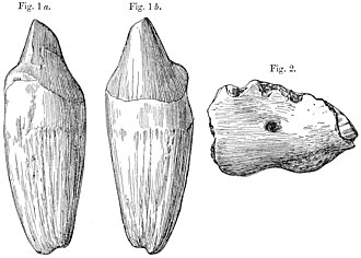 Paraceratherium - 1911 illustration of a P. bugtiense incisor in two views
