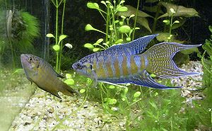 Paradise fish - Sexing is easy, as males are more colorful and have longer fins compared to the females.