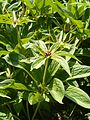 Paris polyphylla BotGardBln07122011I.JPG