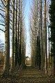 Park Farm poplars - geograph.org.uk - 1055147.jpg