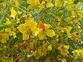 Parkinsonia aculeata flowers 3.jpg