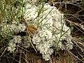 Paronychia aretioides 2.JPG