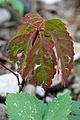 Parthenocissus quinquefolia 3970.jpg