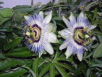 Passiflora c.jpg