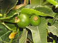Passionflower fruit.jpg