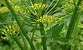 Pastinaca sativa subsp. sativa flowers, Pastinaak bloemen (6).jpg