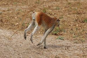 Patas monkey - Image: Patas monkey (Erythrocebus patas) male rear