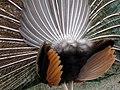 Pavo (genus) طاووس هندی 02.jpg