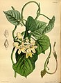 Paxton's flower garden (Plate 101) (9256202668).jpg