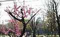 Peach Grove in Osaka Castle Park in 201503 001.JPG