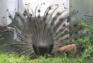 A rear view of an Indian Blue Peacock's tail feathers