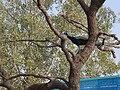 Peacock Thathawata.JPG