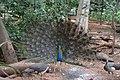 Peacock in Karanji Lake Mysore.jpg