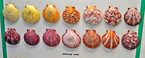 Chlamys varia - Variability of the shells of Chlamys varia