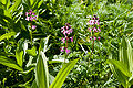 Pedicularis chamissonis var. japonica 10.jpg