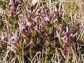 Pedicularis sylvatica 280407.jpg