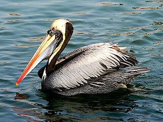 Peruvian pelican species of bird