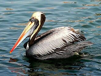 Peruvian pelican - Image: Pelícano en Pucusana