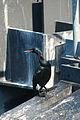 Pelagic Cormorant, Anacortes Ferry Terminal.jpg