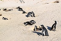 Penguins at Boulders Beach, Cape Town (8).jpg