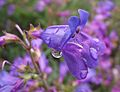 Penstemon heterophyllus blue gem.jpg