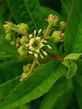 Penthorum sedoides 003.JPG