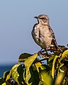 Perched Bird (37067817126).jpg
