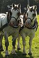 Percherons attelés mondial du cheval percheron 2011Cl J Weber09 (24083449985).jpg