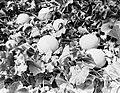 Perziken van kwekerij J van den Berg in Poeldijk, Bestanddeelnr 252-0909.jpg