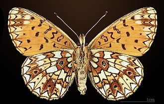 Small pearl-bordered fritillary - Image: Petit collier argenté MHNT CUT 2013 3 21 Sornac Ventre