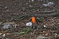Petroica phoeniceabungendore.jpg