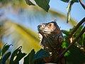 Pets. Green iguana (6980042914).jpg