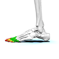 Phalanges of left foot02 lateral view.png