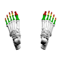 Phalanges of the foot04 superior view.png