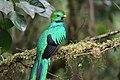 Pharomachrus mocinno Monteverde 06.jpg