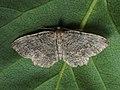 Philereme vetulata - Brown scallop - Пяденица крушинная (42885124035).jpg