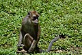 Philippine monkey (9103364985).jpg