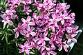 Phlox subulata Crimson Beauty 8zz.jpg