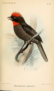 Sooty ant tanager species of bird
