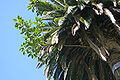 Phoenix-canariensis-with-fig.jpg