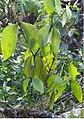 Phoradendron benslowii 0zz.jpg