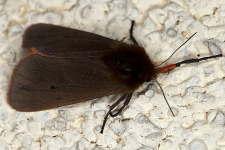 Phragmatobia fuliginosa, Lodz(Poland)04(js).jpg