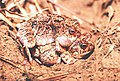 Physalaemus marmoratus02.jpg