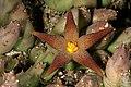 Piaranthus geminatus subsp. geminatus 1DS-II 2935.jpg