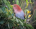 Piaya cayana Cuco ardilla común Squirrel Cuckoo (32196821915).jpg