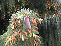 Picea breweriana cones01.jpg