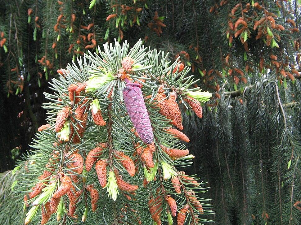 Picea breweriana cones01