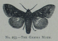 Picture Natural History - No 253 - The Gamma Moth.png